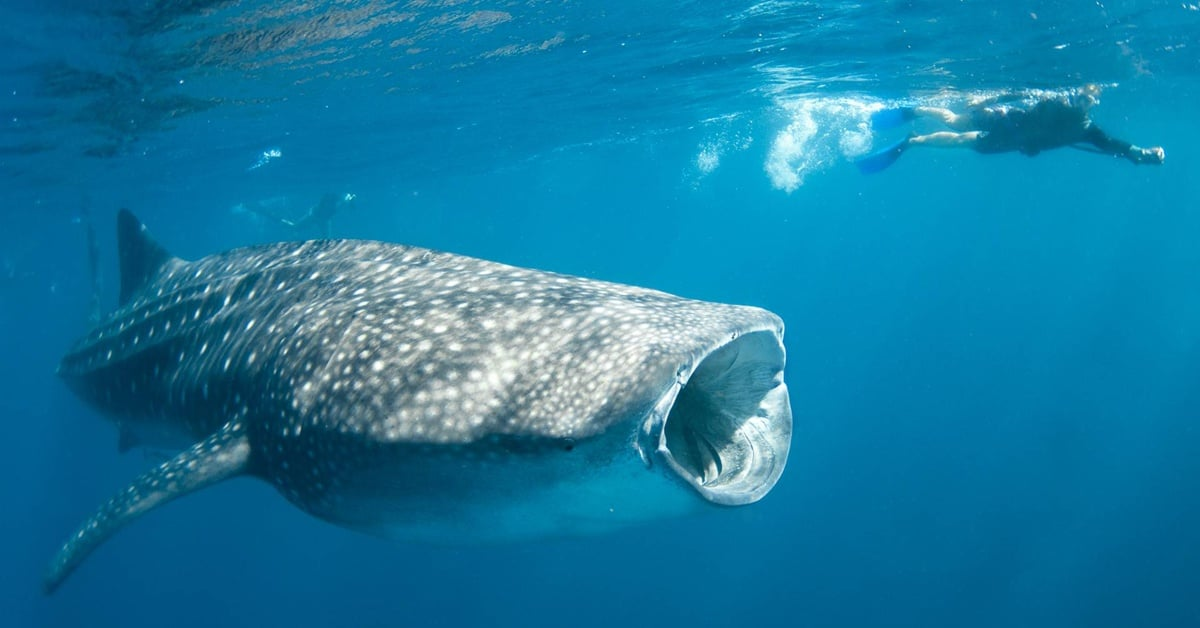 Whale Shark | Species | WWF