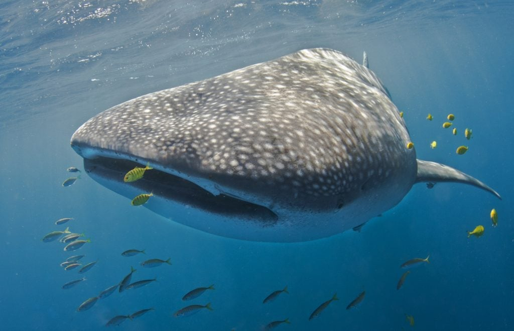 Keeper Whale Shark Exmouth