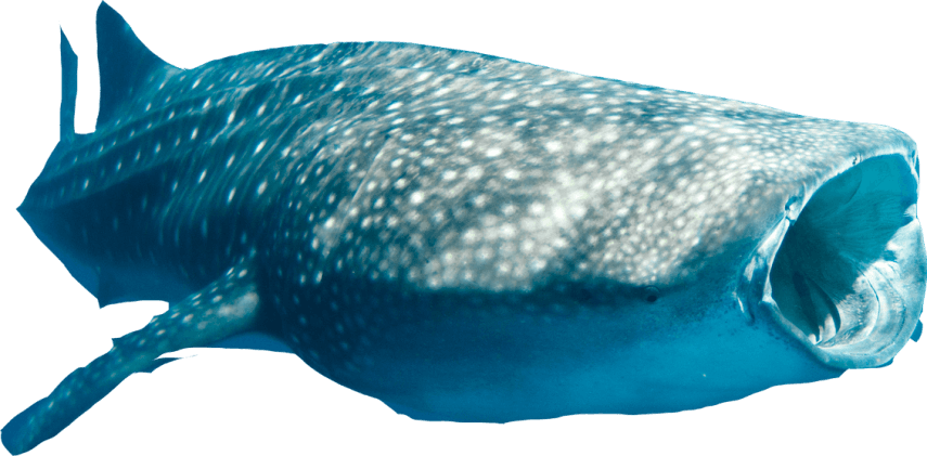 Ningaloo Whale Shark Cutout