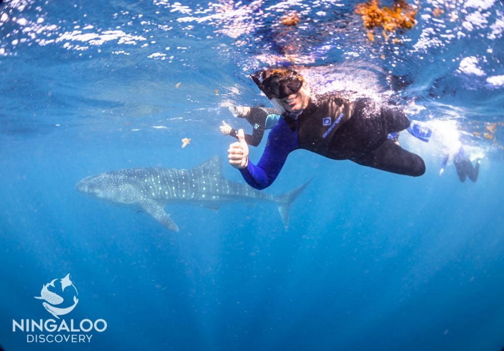 snorkel swim whale sharks