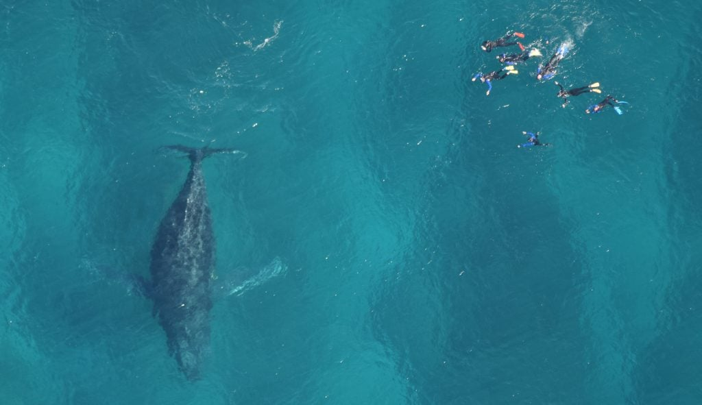 swim with humpback whale tour