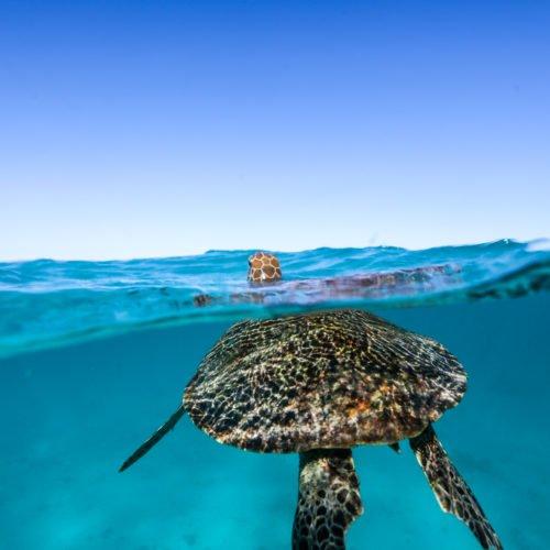 green turtle breath